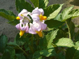 2013.5.23.ジャガイモの花