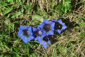 ブルーのリンドウ