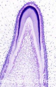 歯牙組織15